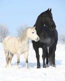 Svart häst och vitponny tillsammans Arkivbild