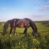 Svart häst på ett fält royaltyfria bilder