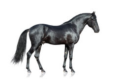 Svart häst på vit bakgrund Royaltyfri Bild