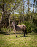Svart häst som betar i den gröna ängen Arkivfoto
