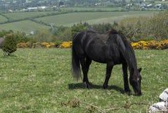 Svart häst som betar på ett fält Arkivfoton