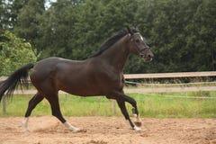 Svart häst som fritt galopperar på fältet Arkivbild