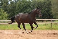 Svart häst som fritt galopperar på fältet Royaltyfri Foto