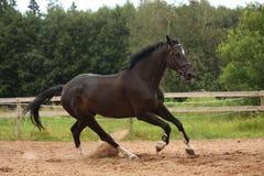 Svart häst som fritt galopperar på fältet Arkivfoto