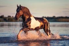 Svart häst som galopperar i vatten på solnedgången Royaltyfri Fotografi