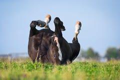 Svart häst som ner ligger i fält Arkivbilder