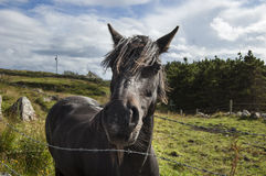 Svart häst som ser dig! Royaltyfri Foto