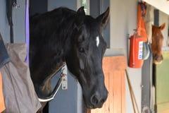 Svart häst som ser ut ur hans stall Royaltyfri Foto