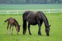 Svart häst, sto med fölet Arkivbilder