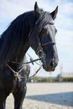 Svart hästanseende på kapplöpningsbana Royaltyfri Fotografi