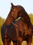 svart hästsolnedgång Royaltyfria Bilder