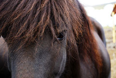 Svart häststående - isländsk häst Royaltyfri Foto