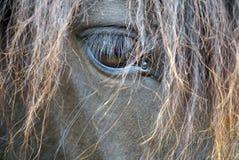Svart häststående - isländsk häst Arkivbilder