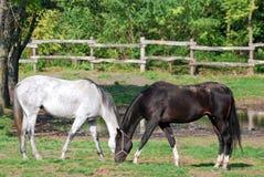 svart hästwhite Arkivfoto