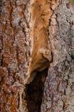 Svart hål i trädstam Royaltyfria Foton