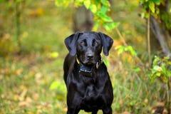 Svart hålla ögonen på för labrador som är klart att utbildas arkivfoto