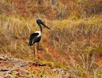 Svart-hånglad stork arkivfoto