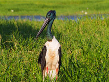 Svart-hånglad stork, Jabiru, Ephippiorhynchusasiaticus royaltyfria foton