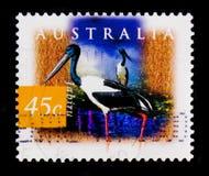 Svart-hånglad stork - Jabiru Ephippiorhynchusasiaticus, flora- och faunaserie, circa 1997 Royaltyfria Bilder