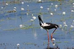 Svart hånglad stork som tillbaka ser royaltyfri fotografi