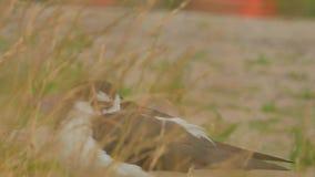 svart hånglad stylta för himantopus mexicanus lager videofilmer