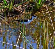 Svart hånglad styltafågel (Himantopusmexicanusen) Fotografering för Bildbyråer