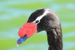Svart-hånglad swan royaltyfria bilder