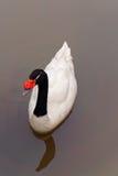 Svart hånglad Swan Fotografering för Bildbyråer