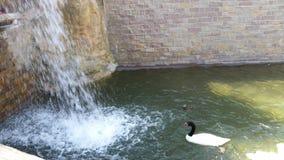 Svart hånglad Swan Royaltyfria Bilder