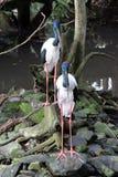 Svart-hånglade storkar Royaltyfria Bilder