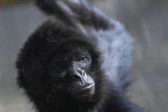 svart hövdad apaspindel Royaltyfri Fotografi