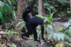 svart hövdad apaspindel Fotografering för Bildbyråer