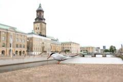 Svart hövdad fiskmås i Göteborg Sverige med delen av cityscapen med i bakgrundssuddighet Arkivbilder