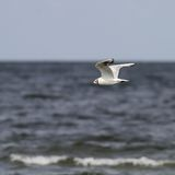 Svart hövdad fiskmås som flyger över havet Arkivbild