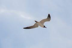 Svart hövdad fiskmåsfluga i himlen Arkivfoton