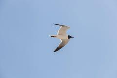 Svart hövdad fiskmåsfluga i himlen Fotografering för Bildbyråer