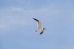 Svart hövdad fiskmåsfluga i himlen Arkivfoto