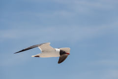 Svart hövdad fiskmåsfluga i himlen Arkivbilder