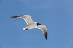 Svart hövdad fiskmåsfluga i himlen Royaltyfria Foton