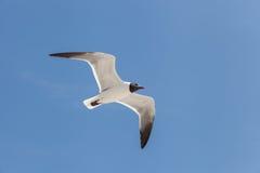 Svart hövdad fiskmåsfluga i himlen Royaltyfri Foto