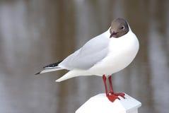 svart hövdad seagull Royaltyfria Foton