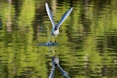 Svart hövdad seagull som takeing av fotografering för bildbyråer