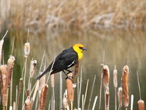 svart hövdad yellow för fågel Royaltyfri Fotografi