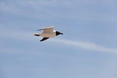 Svart hövdat fiskmåsflyg i himlen Arkivfoton