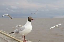 svart head seagull thailand för bangpoo Royaltyfri Foto