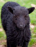 Svart Hebridean lamm Arkivbilder