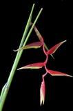 svart heliconiarostrata Arkivbilder