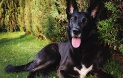 Svart herdehund på trädgård royaltyfria bilder