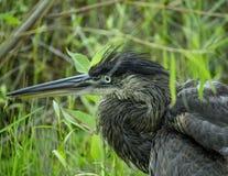 svart heron Royaltyfri Fotografi