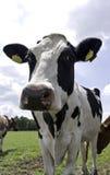 Svart Holstein ko som står Arkivbild